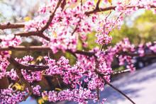 Purple Spring Blossom Of Easte...