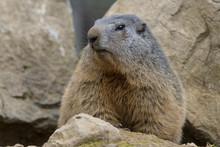 Portrait De Marmotte Des Alpes