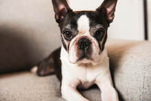 Beautiful Boston Terrier Dog O...