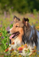 Shetland Sheepdog Summer