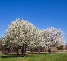 Bradford Pear Trees In Full Bl...
