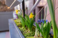 Spring Flower Pot With Daffodi...
