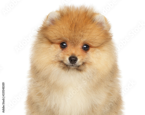 Valokuva Close-up portrait of a Pomeranian Spitz puppy