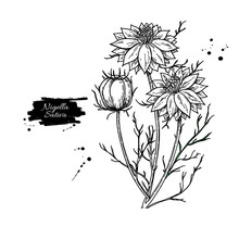 Nigella Sativa Vector Drawing....