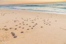 Baby Turtles On Beach Crawling...