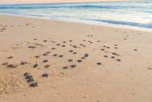 Baby Turtles On Beach Crawling...