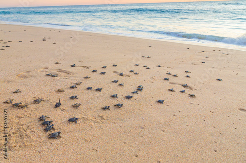 Baby turtles on beach crawling out to sea at sunset Canvas Print