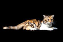 Scottish Fold Cat Sitting On B...