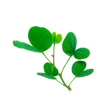 Green Leaves Of Purple Bauhini...