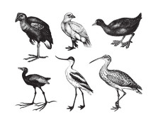 Wader Bird Collection / Vintage Illustration From Brockhaus Konversations-Lexikon 1908