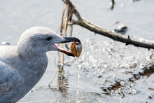 A Picture  Of  A Seagull Eatin...