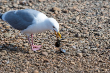 A Picture  Of  A Seagull Eating The Shellfish.      Vancouver  BC  Canada