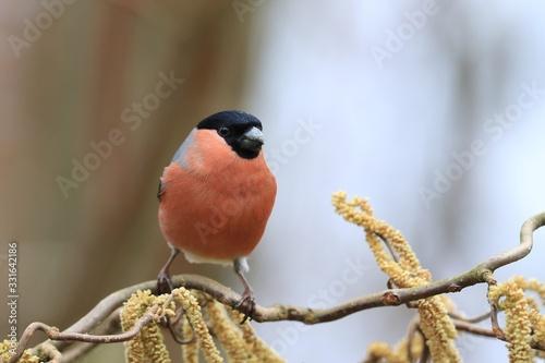 Carta da parati Eurasian bullfinch sits on the twig