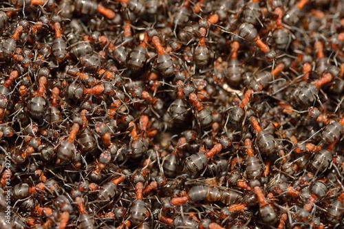 Valokuvatapetti Eine Kolonie Rote Waldameisen im Frühjahr