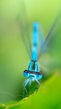 Blue Azure Damselfly (Coenagrion Puella) Close-up