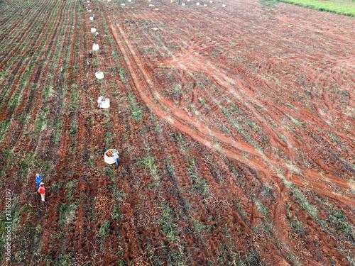 Photo Aerial view of the cassava harvest in Mato Grosso do Sul, Brazil