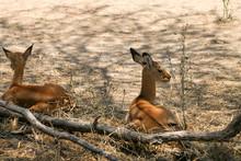 Relaxing Antelope