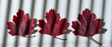 Three Autumn Red Leaves On Whi...