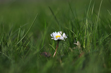 Bellis Perennis Grow Up Between Green Field. European Species Of Daisy Hidden In High Grass On Field Near Beskydy Mountains, Czech Republic. Herbal Medicine. Potherb. Homeopathy