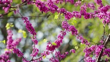 Close Up Of Blooming Chinese R...