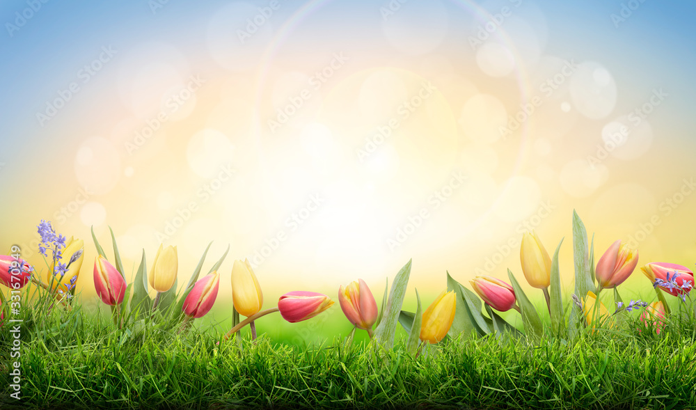 Fototapeta A sprinf background of colorful tulips and green grass lawn with a bright sun background