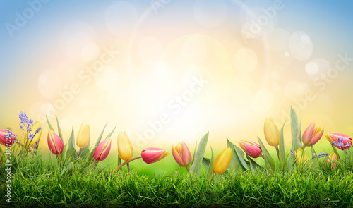 Obraz A sprinf background of colorful tulips and green grass lawn with a bright sun background - fototapety do salonu