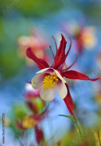 Akelei Aquilegia Blume Garten beliebt Pflanze Blüte rot weiß Hahnenfußgewächse H Wallpaper Mural