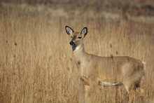 White Tailed Deer Standing In ...