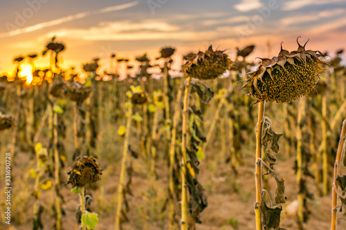 Fotografia, Obraz Dried sunflowers at the end of the summer in the interior of Spain