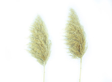 Two Stalks Of Fluffy Reeds On ...