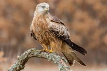 Red Kite, (Milvus Milvus), Per...
