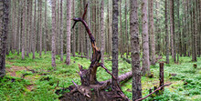 Uprooted Root Stock In Dense F...