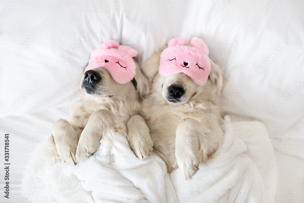 Fototapeta two golden retriever dogs sleeping in pink sleeping mask, top view