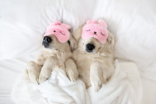 Two Golden Retriever Dogs Slee...