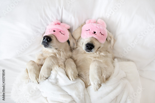 Photo two golden retriever dogs sleeping in pink sleeping mask, top view