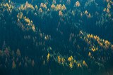 Trees on mountainside in the afternoon sun. Beautiful pine forest texture.