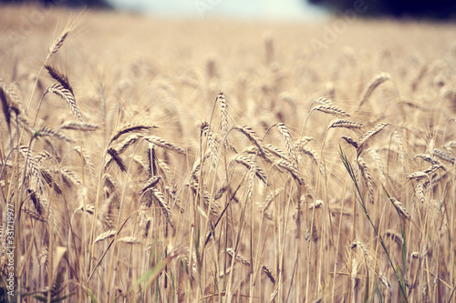 Champ de blés prêts pour la moisson . Fototapet