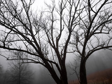 Trees On Foggy Day