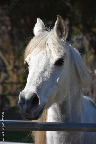 Very Sweet White Arabian Horse Up Close