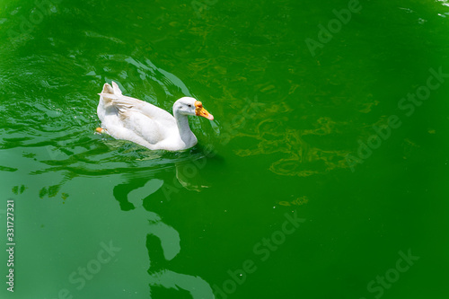 White domestic goose on the lake Canvas Print