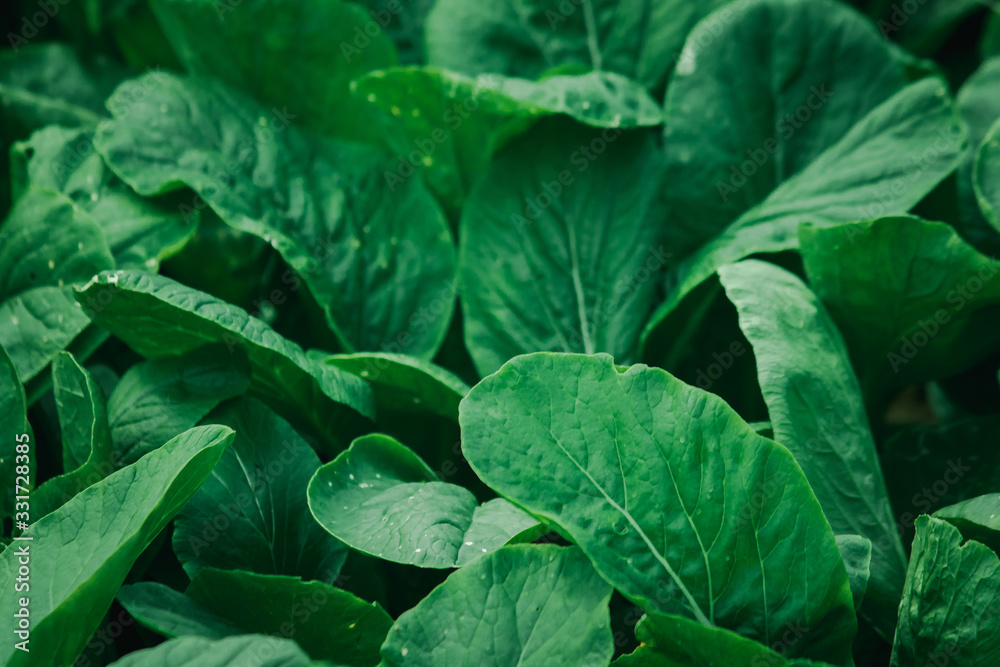 Fototapeta Mustard Greens in the field, Mustard Greens are high in nutrients. Helps nourish the eyes to have a bright sparkle.
