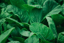 Mustard Greens In The Field, Mustard Greens Are High In Nutrients. Helps Nourish The Eyes To Have A Bright Sparkle.