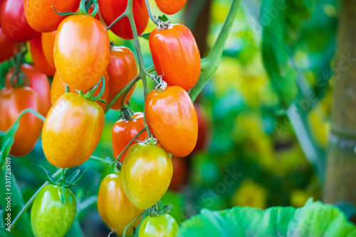 Photo Fresh red ripe tomatoes hanging on the vine plant growing in organic garden