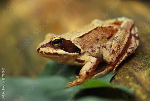 Fotografía Fotografía macro de una rana patilarga (Rana iberica) con ambiente de bosque