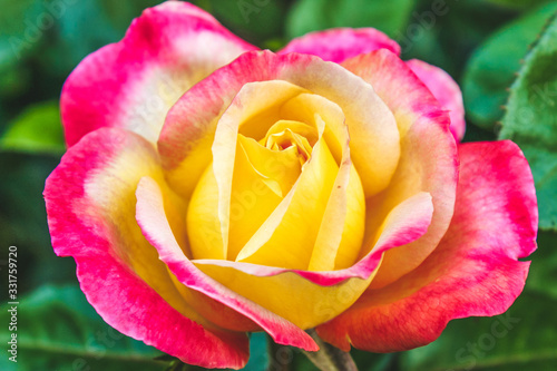 pink and yellow rose in garden