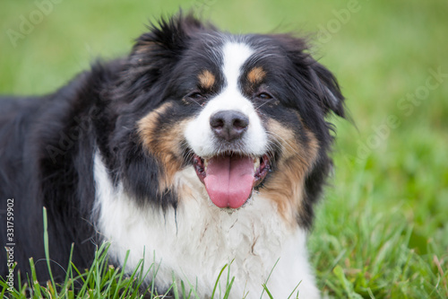 Photo Bernese dog laying in the grass smiling