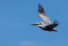 Brown Pelican Flying