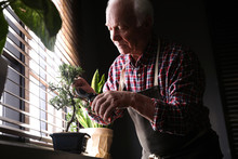 Senior Man Taking Care Of Japanese Bonsai Plant Near Window Indoors. Creating Zen Atmosphere At Home