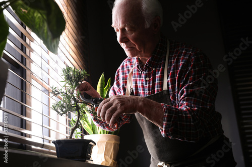 Fotografie, Tablou Senior man taking care of Japanese bonsai plant near window indoors