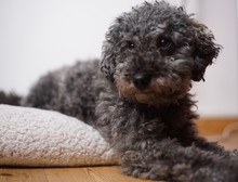 Portrait Of A Young Cute Grey Dwarf Poodle With Teddy Cut